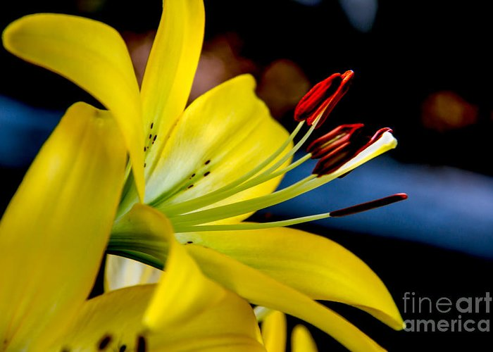 Lily Greeting Card featuring the photograph Yellow Lily Anthers by Robert Bales