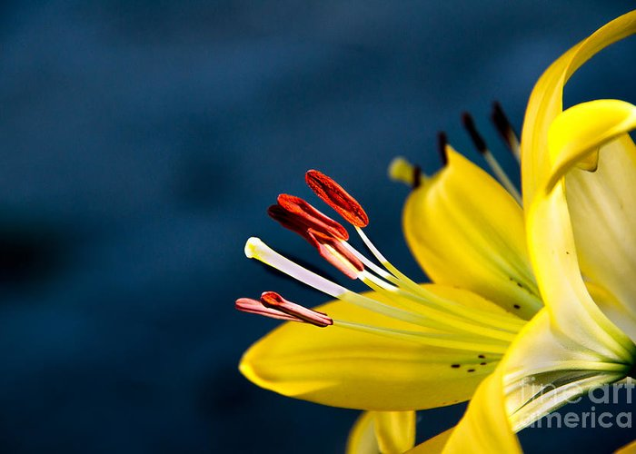 Lily Greeting Card featuring the photograph Yellow Lily Stamens by Robert Bales