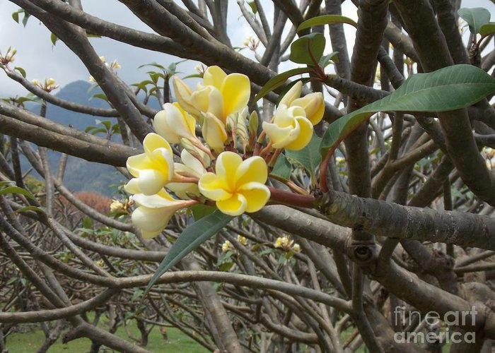 Yellow Greeting Card featuring the photograph Yellow Plumeria by Mindy Sue Werth