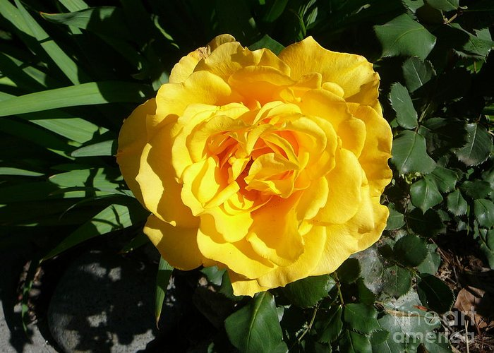 Early Spring Greeting Card featuring the photograph Yellow Rose #1 by Mary Brhel