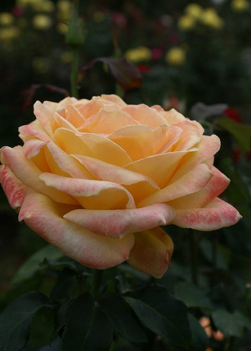 Yellow Rose Greeting Card featuring the photograph Yellow Rose Kissed By Pink Fairy by Jacqueline Russell