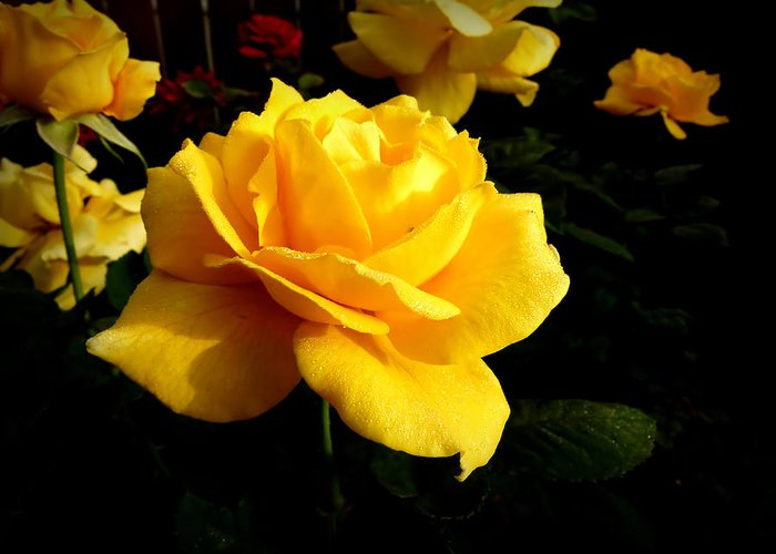 Rose Greeting Card featuring the photograph Yellow Rose Of Texas by Dale Paul