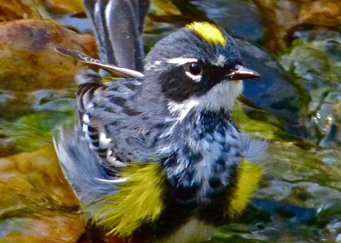 Warbler Greeting Card featuring the photograph Yellow-rumped Warbler by Jean Wright
