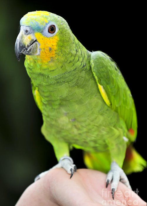 Parrot Greeting Card featuring the photograph Yellow-shouldered Amazon Parrot by Elena Elisseeva