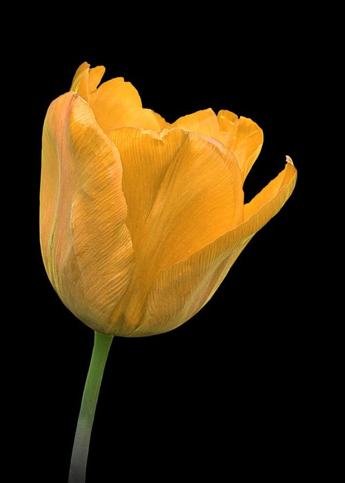 Yellow Flower Greeting Card featuring the photograph Yellow Tulip Open On Black by Gill Billington