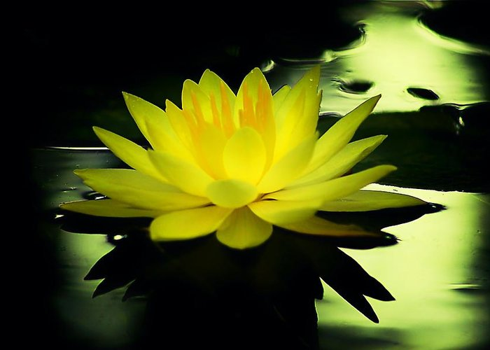 Yellow Waterlily Nc Greeting Card featuring the photograph Yellow Waterlily Nc by Beth Akerman