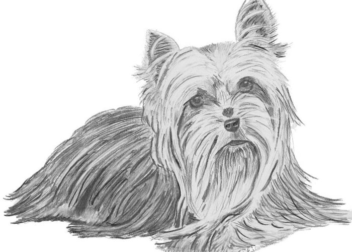 Yorkie Greeting Card featuring the drawing Yorkshire Terrier Drawing by Catherine Roberts