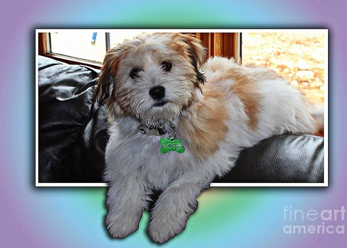 Yoshi Havanese Puppy Greeting Card featuring the photograph Yoshi Havanese Puppy by Barbara Griffin