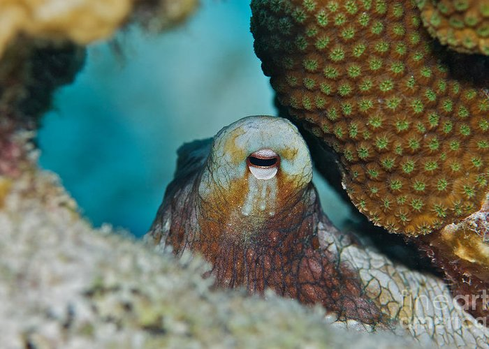 Octopus Greeting Card featuring the photograph You Can't See Me by Thomas Major
