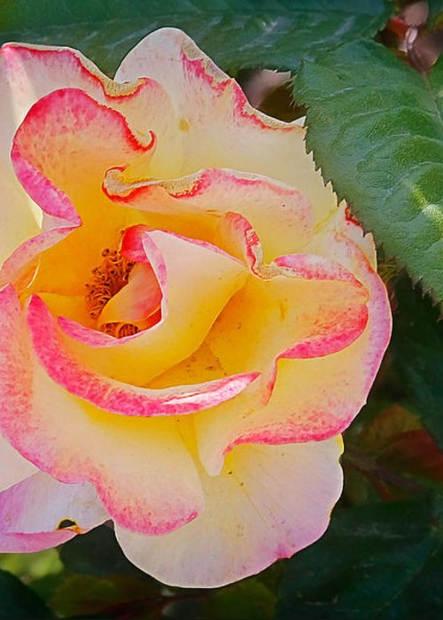 One Greeting Card featuring the photograph You Love The Roses - So Do I by Christine Till