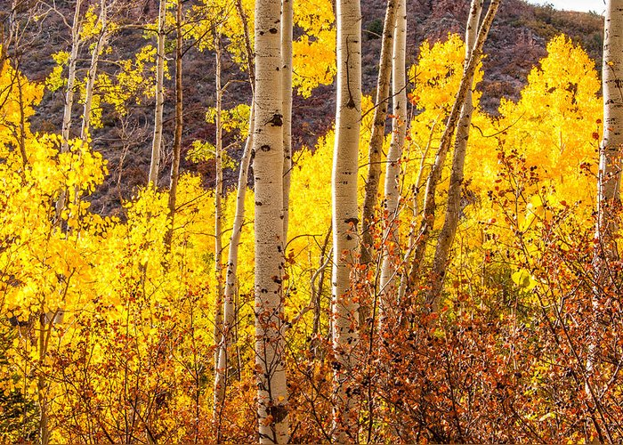 Aspen Greeting Card featuring the photograph Young And Old Aspens by Jerry Ross