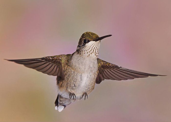 Ruby-throated Hummingbird Greeting Card featuring the photograph Young And Sassy 3 by Leda Robertson