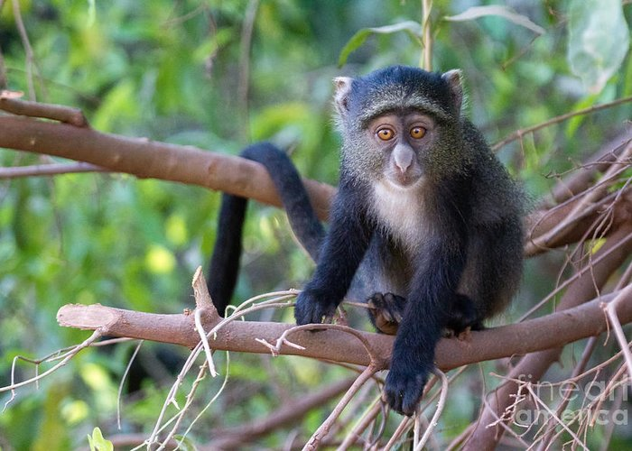 Monkeys Greeting Card featuring the photograph Young Blue Monkey by Chris Scroggins