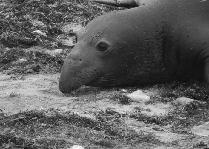Elephant Seal Greeting Card featuring the photograph Young Elephant Seal Bull by Gwendolyn Barnhart