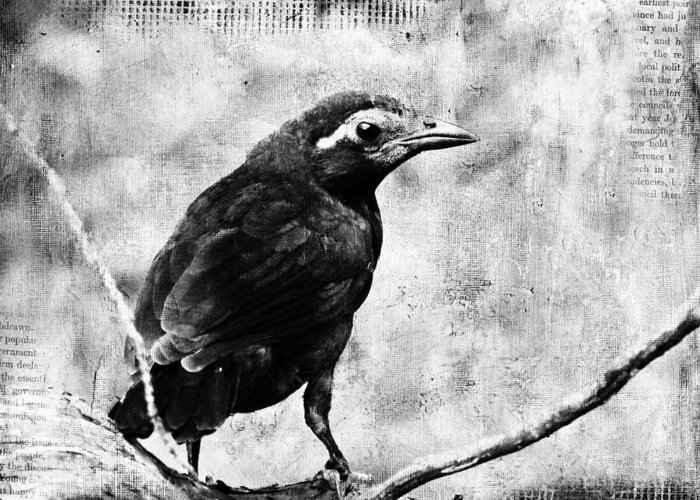 Grackle Greeting Card featuring the digital art Young Grackle by Cassie Peters