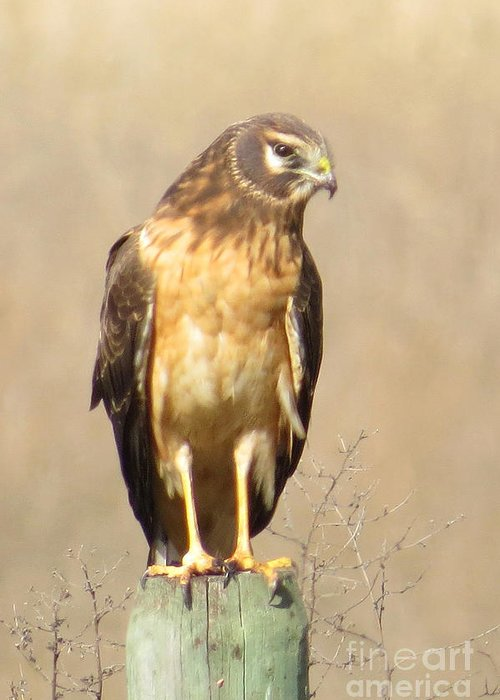 Northern Harrier Greeting Card featuring the photograph Young Harrier by Frank Townsley