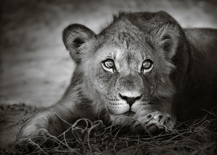 Wild Greeting Card featuring the photograph Young Lion Portrait by Johan Swanepoel