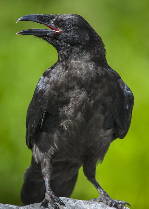 Raven Greeting Card featuring the photograph Young Raven by Tim Grams