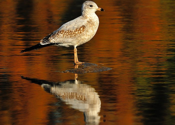 Ring-billed Gull Greeting Card featuring the photograph Youthful Reflections by Tony Beck