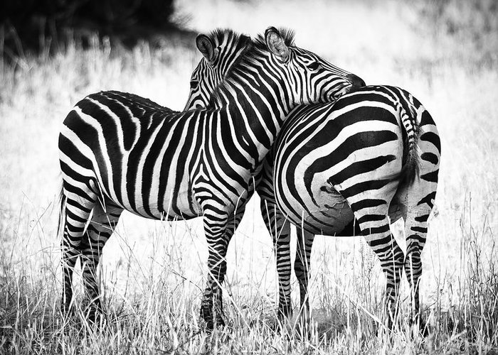 Zebra Greeting Cards