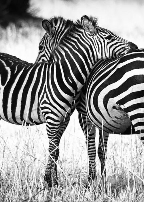3scape Greeting Card featuring the photograph Zebra Love by Adam Romanowicz