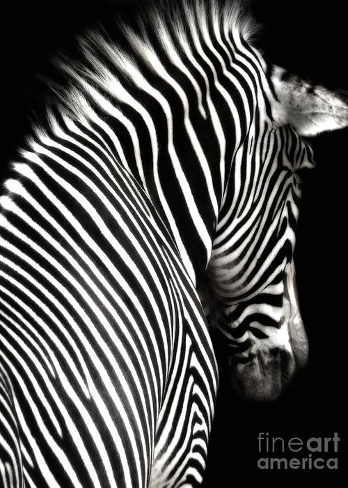 Zebra Greeting Card featuring the photograph Zebra On Black by Elle Arden Walby