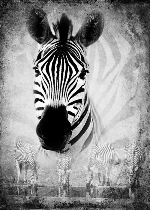 Zebra Greeting Card featuring the photograph Zebra Profile In Bw by Ronel Broderick