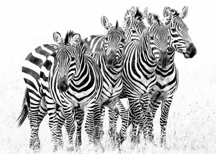 Africa Greeting Card featuring the photograph Zebra Quintet by Mike Gaudaur