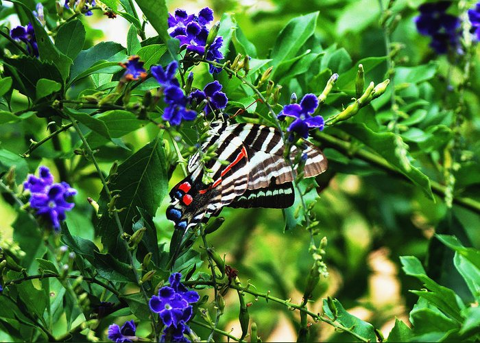 Colorful Greeting Card featuring the photograph Zebra Swallowtail by Dan Dennison