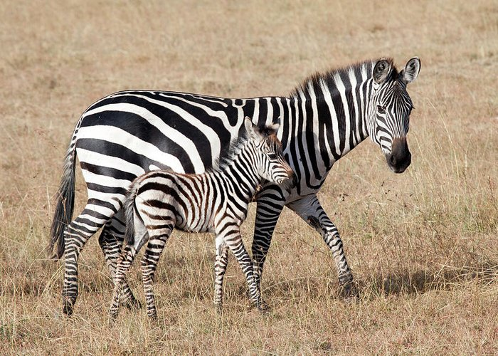 Kenya Greeting Card featuring the photograph Zebra With Young Foal, Masai Mara by Angelika