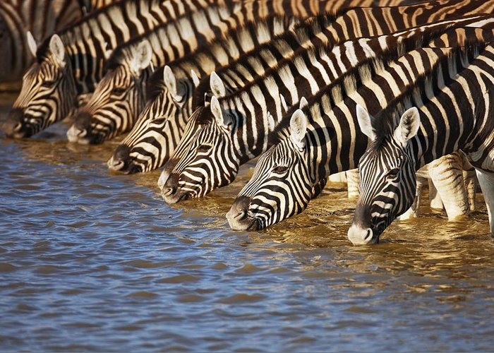 Wild Greeting Card featuring the photograph Zebras Drinking by Johan Swanepoel