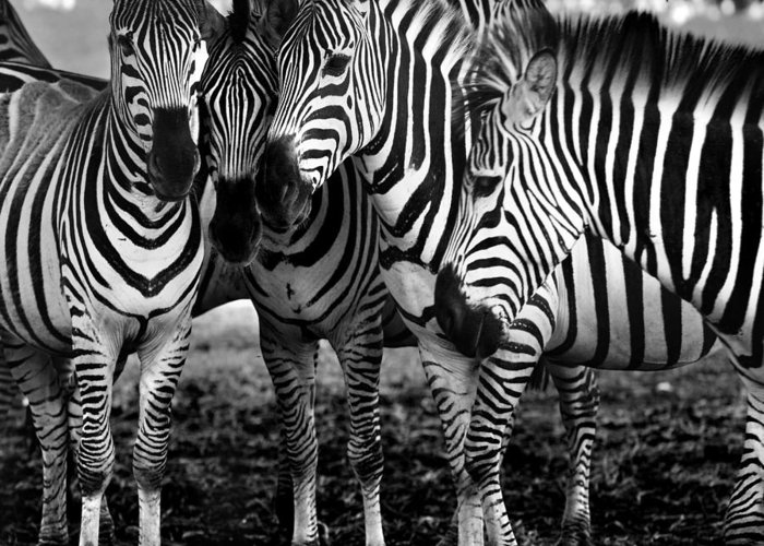 Photography Greeting Card featuring the photograph Zebras by Sandra Stimac