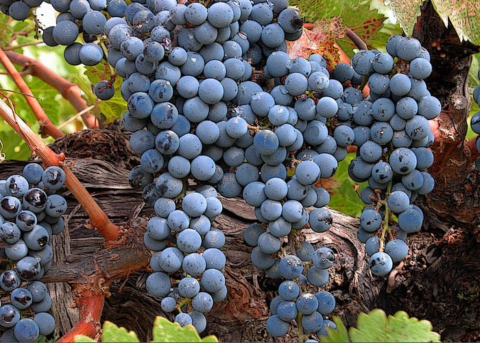 Grapes Greeting Card featuring the photograph Zinfandel Wine Grapes by Charlette Miller