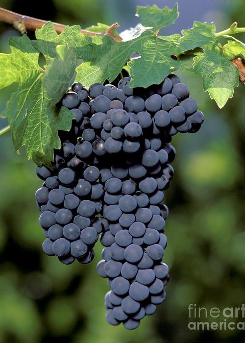 Cluster Greeting Card featuring the photograph Zinfandel Wine Grapes by Craig Lovell