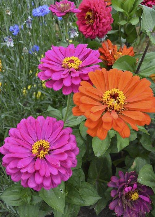 Flower Greeting Card featuring the photograph Zinnia Garden by William Hallett