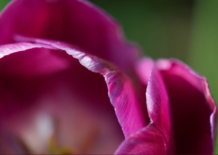 Tulip Greeting Card featuring the photograph Zoo Bloom by Tammy Richardson