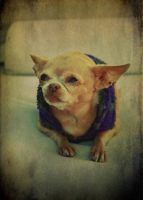 Chihuahuas Greeting Card featuring the photograph Zozo by Laurie Search