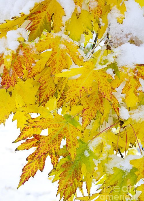 Snow Greeting Card featuring the photograph Autumn Snow Portrait by James BO Insogna