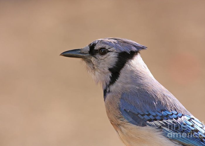 Blue Jay Greeting Card featuring the pyrography Blue Jay Posing by David Cutts