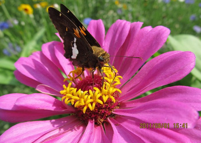 Flowers Greeting Card featuring the photograph Butterfly On Pink Flower by Tina M Wenger