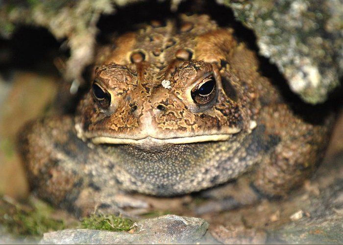 Toad.frogs.nature.cave.home.grounded.grumpy.misserable.lumpy.texture.greeting Card.eyes.rock.hole. Greeting Card featuring the photograph Grumpy Toad by Kathy Gibbons