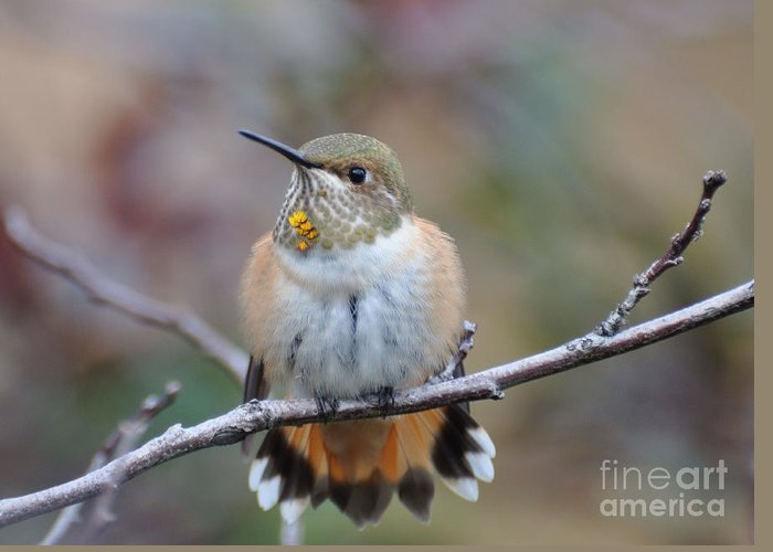 Rufus Hummingbird Greeting Card featuring the photograph Hummingbird Stretch Six by Suzanne Handel