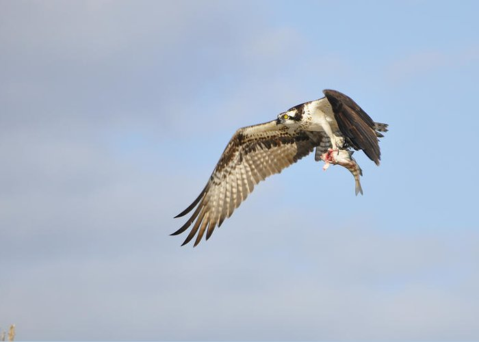 Osprey Greeting Card featuring the photograph Osprey Lunch To Go I by Christine Stonebridge