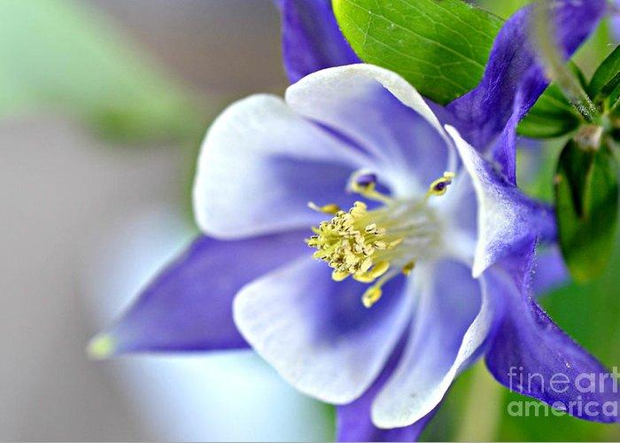 Purple Columbine Bloom Prints Greeting Card featuring the photograph Purple Columbine Bloom by Lila Fisher-Wenzel
