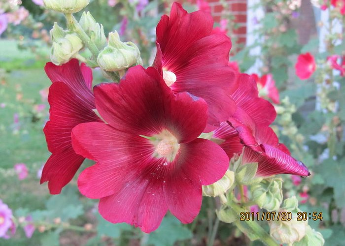 Flowers Greeting Card featuring the photograph Red Hollyhock by Tina M Wenger