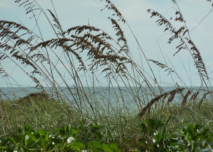 Sea Oats Greeting Card featuring the photograph 019 Sea Oats by Carol McKenzie
