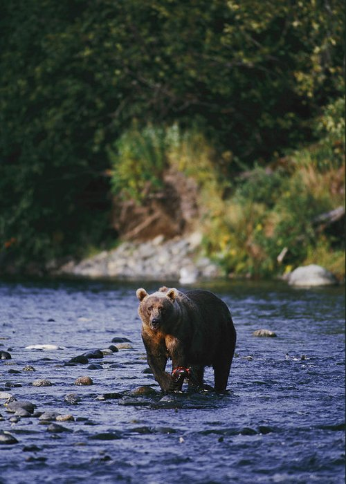 Kodiak Island Greeting Card featuring the photograph A Kodiak Brown Bear Ursus Middendorfii by George F. Mobley