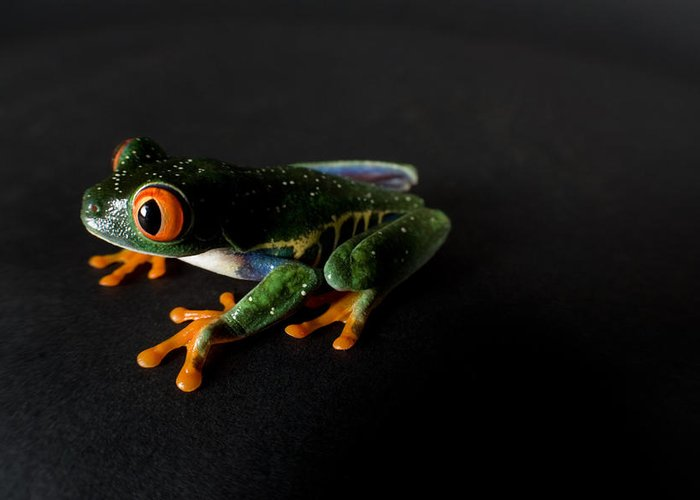 Property Released Photography Greeting Card featuring the photograph A Red-eyed Tree Frog Agalychnis by Joel Sartore