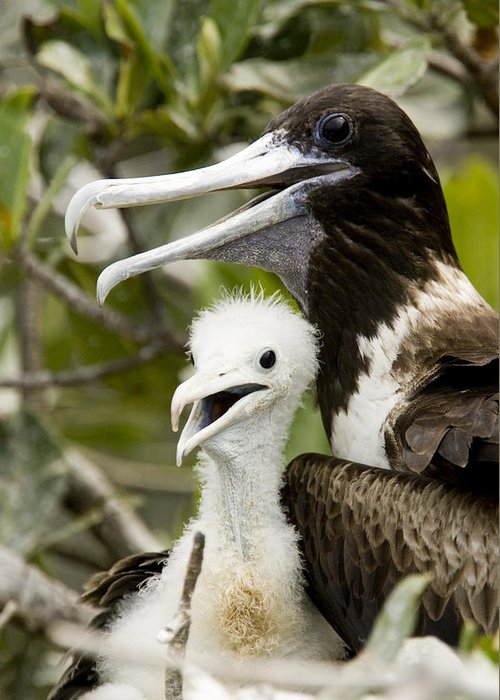 Protection Greeting Card featuring the photograph Adult Frigatebird Fregata Species by Tim Laman