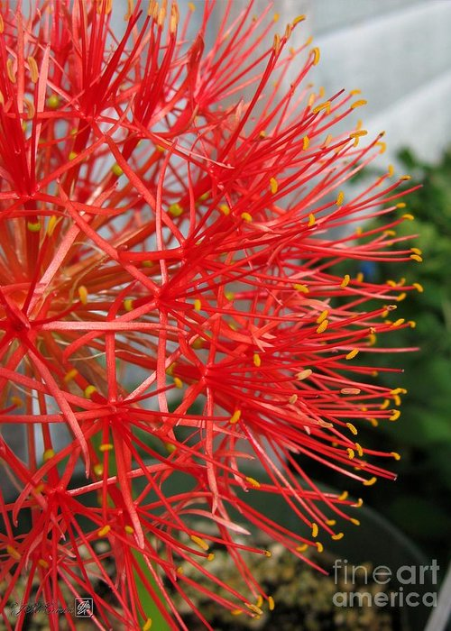 African Blood Lily Greeting Card featuring the photograph African Blood Lily Or Fireball Lily by J McCombie